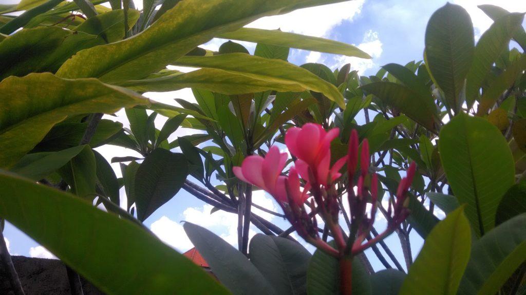 南国風のピンク色の花が、木に咲いています
